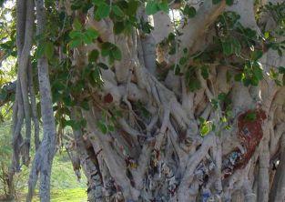 درخت انجیر معابد چابهار